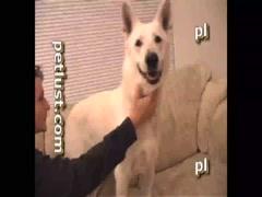 Petlust - White Shepherd