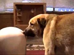Caledonian - Dog Cum Snowballing